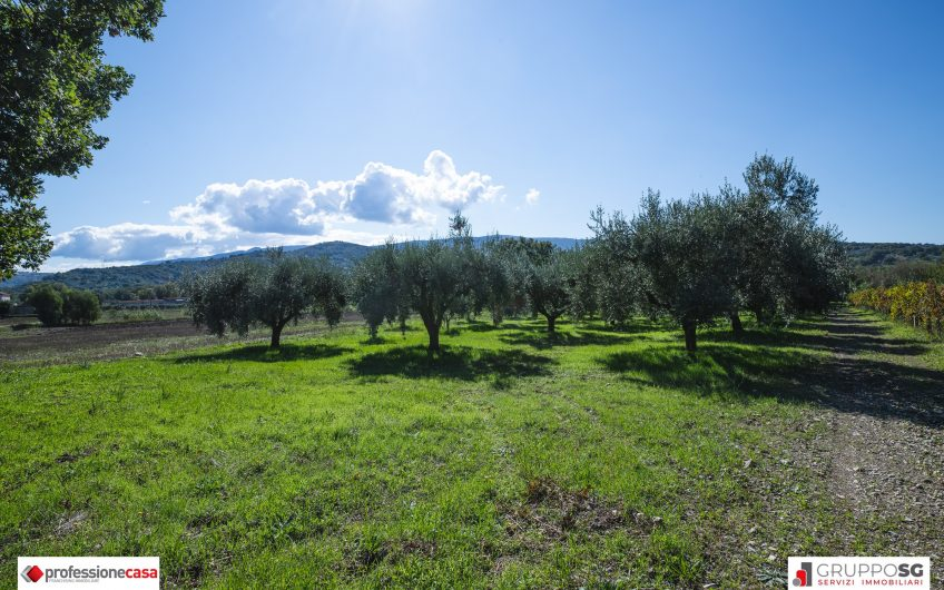 Terreno ad oliveto